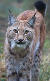 Lynx. A portrait of a young male lynx Royalty Free Stock Images