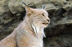 Lynx. Portret on rock background Royalty Free Stock Photography
