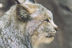 Lynx Profile. Profile of a Lynx at the Minnesota Zoo Stock Images