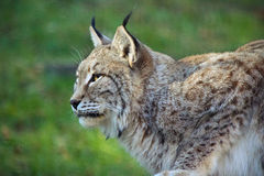 Lynx profile. A close up of an Eurasian Lynx royalty free stock image