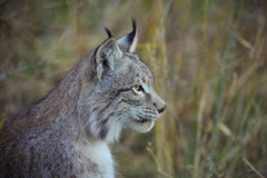 Lynx profile. A close up of an Eurasian Lynx Stock Photography