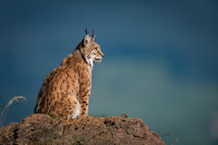 Lynx in profile on rock looking up Royalty Free Stock Images