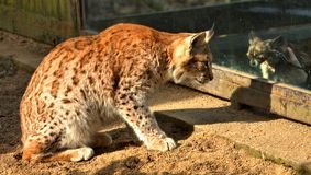 Lynx prowling at chiwawa Royalty Free Stock Image