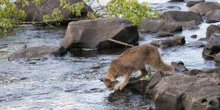 Lynx préparant pour traverser une rivière Photos stock