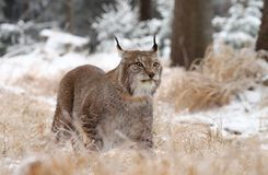 Lynx puissant Images stock