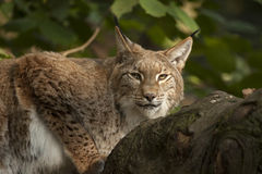 Lynx is ready to go. Stock Image