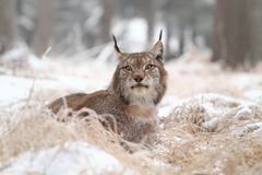 Lynx relaxing Royalty Free Stock Images