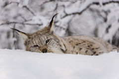 Lynx relaxing Royalty Free Stock Photography