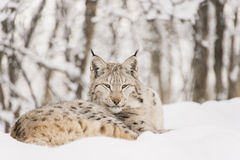 Lynx relaxing in snow. A lynx is relaxing in the snow in the forest Stock Image