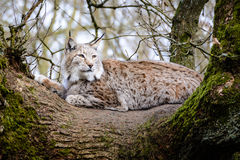 Lynx relaxing on a tree Stock Photos