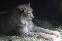 Lynx in Repose. Snowshoe is a lynx that was found in the northern California wilderness and rescued from starvation.  The big cat had been declawed and defanged Royalty Free Stock Photography