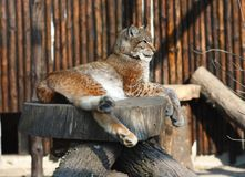 Lynx resting. Single adult lynx laying relaxed on a piece of wood in zoo Stock Photo