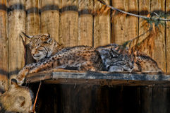 Lynx resting Stock Photography