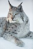 Lynx rests in the snow. Eurasian lynx laying in the snow and rests Stock Photo