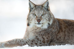 Lynx rests in the snow. Eurasian lynx laying in the snow and rests Stock Image
