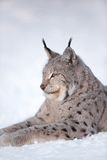 Lynx rests in the snow. Eurasian lynx laying in the snow and rests Stock Photography