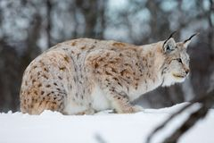 Lynx rests in the snow. A european lynx in the snow. Cold winter, February, Norway Royalty Free Stock Photo