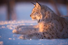 Lynx rests in the sunset. Eurasian lynx lies in the snow and rests Royalty Free Stock Photo