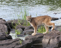 Lynx by a River Stock Photo