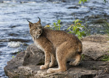 Lynx By the River Stock Photos