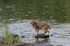 Lynx on a River Rock. Canadian lynx standing on a rock in the river Royalty Free Stock Images