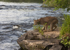 Lynx on River Rock. Lynx on rocks watching the river go by Stock Images