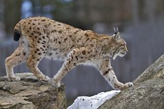 Lynx on the rock Stock Photography