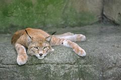 Lynx on the rock. Lynx (scientific name: lynx lynx) on the rock, resting Stock Photos