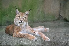 Lynx on the rock. Lynx (scientific name: lynx lynx) on the rock, resting Royalty Free Stock Photography