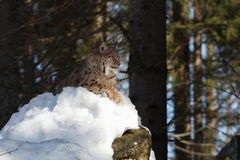 Lynx on rock II. Lynx is the snow-covered rock Stock Photo