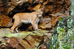 Lynx in the rock. Lynx, Eurasian wild cat walking on green moss stone with green rock in background, animal in the nature habitat, Royalty Free Stock Images
