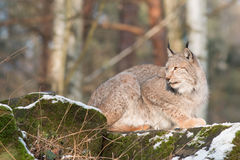 Lynx on the rocks Stock Image