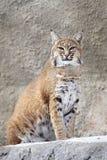 Lynx rouge sur une roche Images stock