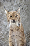 Lynx rufus front view portrait. Grey wall background Royalty Free Stock Photography