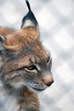 Lynx rufus. Head portrait Royalty Free Stock Photos