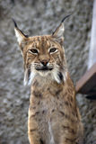 Lynx rufus portrait. Grey wall background Royalty Free Stock Image