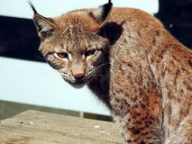 Lynx red. Lynx rufus. Lynx rufus. A portrait of a young male red lynx. The red lynx is an American cat that appeared during the Irvingtonian stage of about 1.8 stock photos