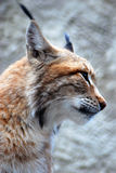 Lynx rufus profile portrait Stock Images