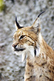 Lynx rufus profile portrait. Grey wall background Stock Images