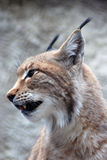 Lynx rufus profile portrait Royalty Free Stock Photos