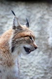 Lynx rufus profile portrait with open mouth. Grey wall background Stock Photography