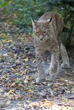 Lynx in the run. Lynx in the forest in the run Stock Photography