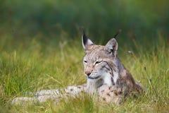 Lynx s'étendant dans l'herbe Photos libres de droits