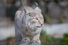 Lynx sauvage Photographie stock
