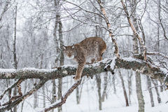 Lynx in Scandinavia Fotografia Stock Libera da Diritti