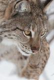 Lynx in Scandinavia Immagine Stock Libera da Diritti