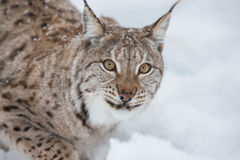 Lynx in scandinavia Royalty Free Stock Images