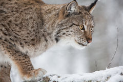 Lynx in scandinavia Stock Image