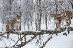 Lynx in scandinavia Royalty Free Stock Photo