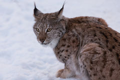 Lynx in scandinavia Royalty Free Stock Photo